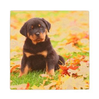 Rottweiler Puppy Sitting In Autumn Leaves Wood Coaster