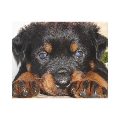 Rottweiler Puppy With Big Paws Lying Down Canvas Print