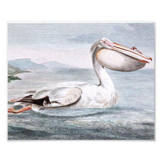 Rough-Billed Pelican Bird Art Photo Print