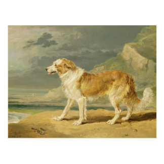 Rough-coated Collie, 1809 (oil on board) Postcard