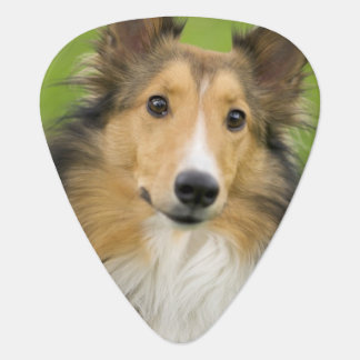 Rough Collie, dog, animal Guitar Pick