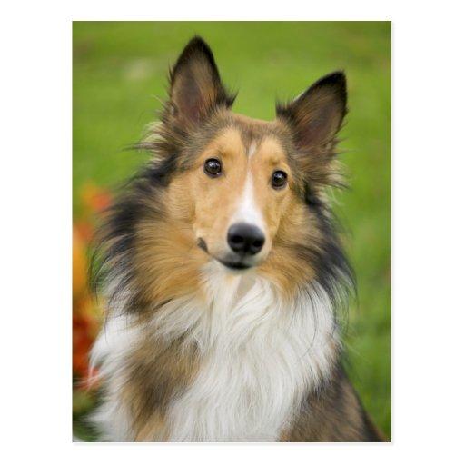Rough Collie, dog, animal Postcard