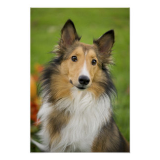 Rough Collie, dog, animal Poster