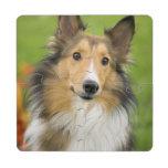 Rough Collie, dog, animal Puzzle Coaster