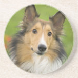 Rough Collie, dog, animal Sandstone Coaster