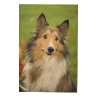 Rough Collie, dog, animal Wood Print