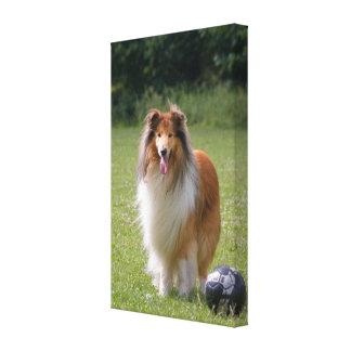 Rough collie dog beautiful photo canvas print