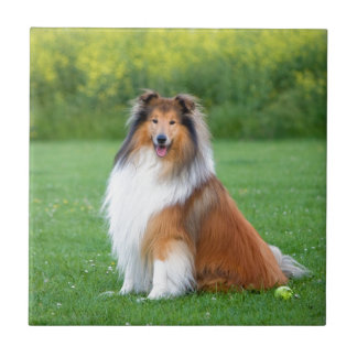 Rough Collie dog beautiful photo ceramic tile