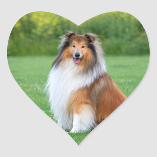Rough Collie dog beautiful photo heart stickers