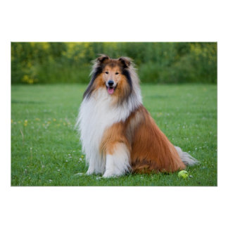Rough collie dog beautiful photo poster, print