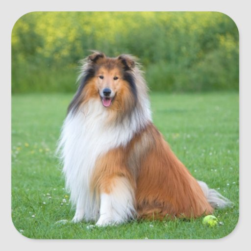Rough Collie dog beautiful photo square stickers