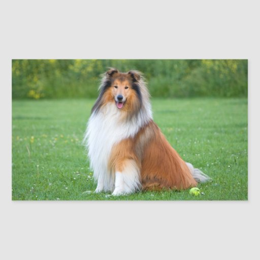 Rough Collie dog beautiful rectangle stickers