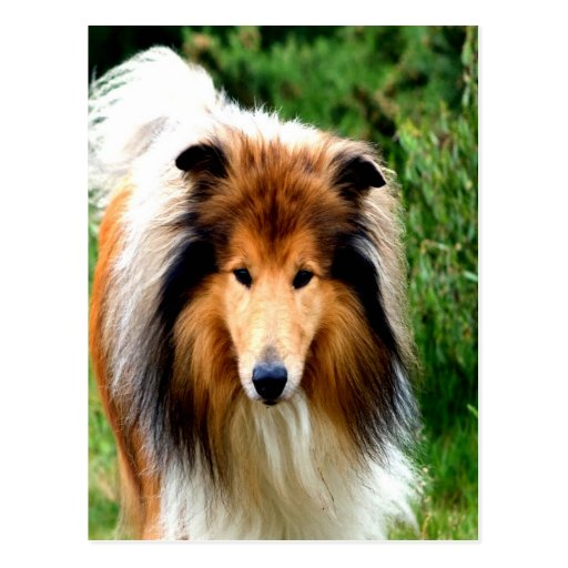 rough collie dog move to love postcards