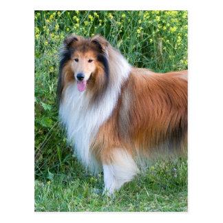 Rough Collie dog portrait postcard
