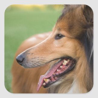 Rough Collie Face Square Sticker