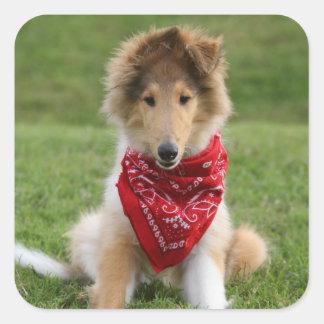 Rough collie puppy dog cute beautiful photo square sticker