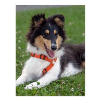 Rough collie puppy dog cute photo postcard