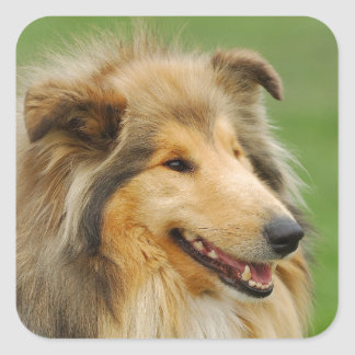 Rough Collie Square Sticker