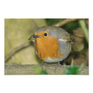 Round Robin Photo Print