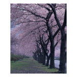 Row of cherryblossom trees poster