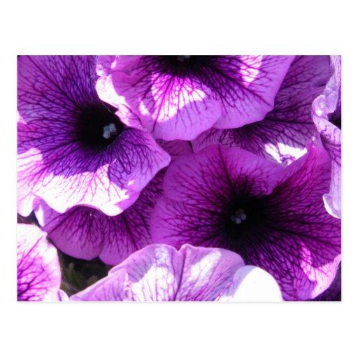 Row of Purple Petunias Postcards