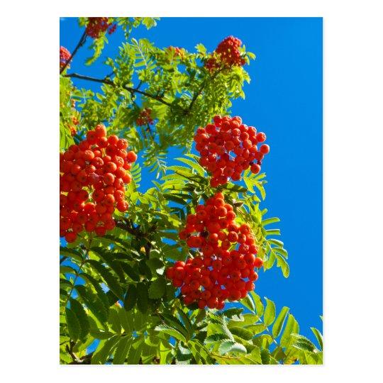 Rowan tree  with red berries postcard