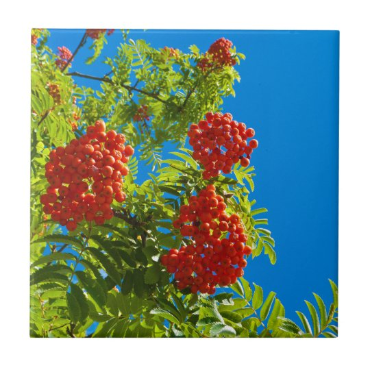 Rowan tree with red berries small square tile