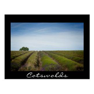 Rows of lavender after harvest black postcard