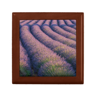 Rows of lavender in Provence Gift Box