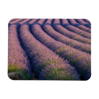 Rows of lavender in Provence Magnet