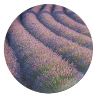 Rows of lavender in Provence Plate