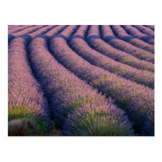 Rows of lavender in Provence Post Card