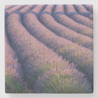 Rows of lavender in Provence Stone Coaster