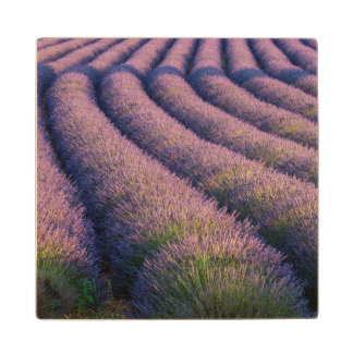 Rows of lavender in Provence Wood Coaster