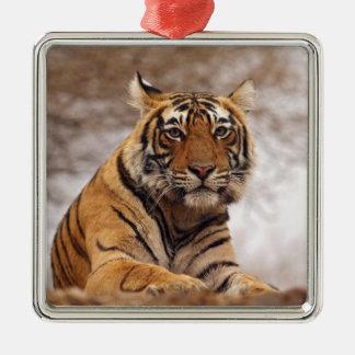 Royal Bengal Tiger - a close up, Ranthambhor 2 Christmas Ornament