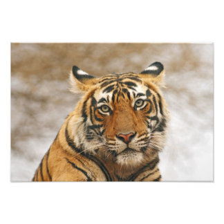 Royal Bengal Tiger - a portrait, Ranthambhor Photo Print