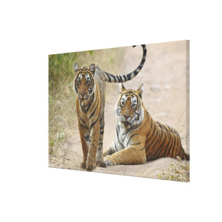 Royal Bengal Tiger and young, Ranthambhor Canvas Print