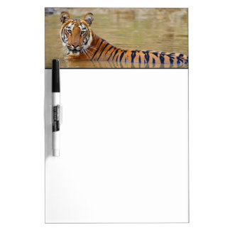 Royal Bengal Tiger at the waterhole Dry Erase White Board