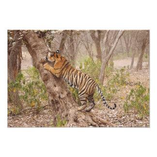 Royal Bengal Tiger climbing up the tree Art Photo