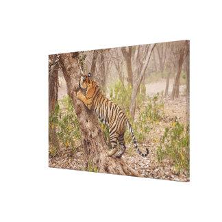 Royal Bengal Tiger climbing up the tree, Canvas Print