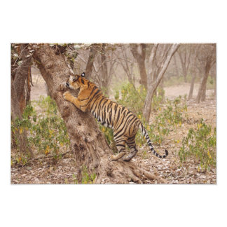 Royal Bengal Tiger climbing up the tree, Photo Print