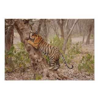Royal Bengal Tiger climbing up the tree, Poster