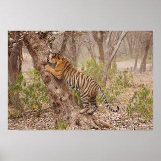 Royal Bengal Tiger climbing up the tree, Poster