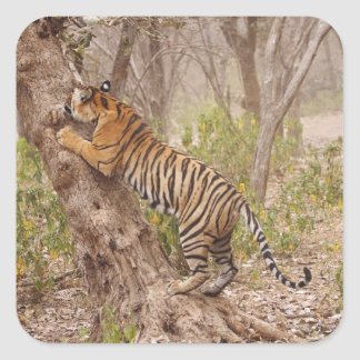 Royal Bengal Tiger climbing up the tree, Square Sticker