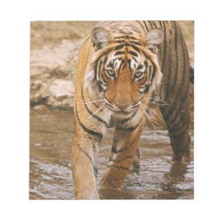 Royal Bengal Tiger coming out of jungle pond, Notepad