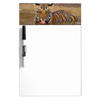 Royal Bengal Tiger cub, drinking water Dry Erase Board