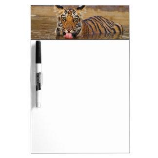 Royal Bengal Tiger cub, drinking water Dry Erase White Board