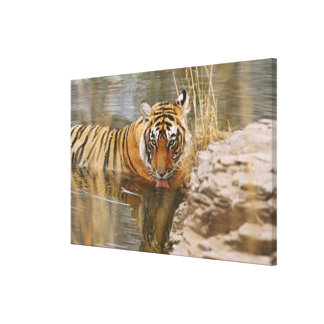 Royal Bengal Tiger drinking in the forest Gallery Wrapped Canvas