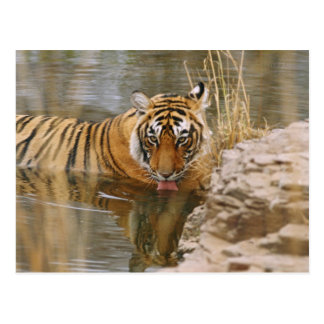 Royal Bengal Tiger drinking in the forest Postcard