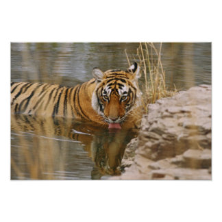 Royal Bengal Tiger drinking in the forest Poster
